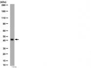 AP56054PU-N - Arrestin C / ARR3