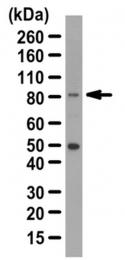 AP56062PU-N - KIF2C