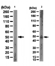AP56078PU-N - Fucosyltransferase 3