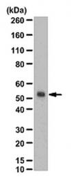 AP56080PU-N - Fucosyltransferase 7