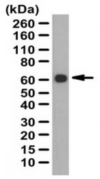 AP56085PU-N - Fibromodulin