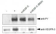AR01001PU-N - VEGF-C / Flt4-L