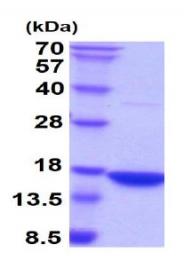 AR09041PU-L - IFNG / Interferon gamma