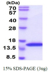 AR09091PU-L - VAMP-2 / Synaptobrevin-2