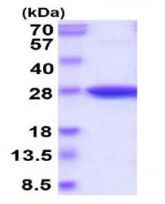 AR50254PU-N - Glutathione peroxidase 3 / GPX3