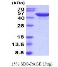 AR50259PU-N - Reticulocalbin-3 / RCN3