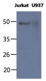 AM50348PU-N - CD64 / FCGR1A