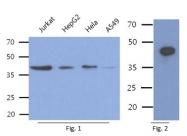 AM50353PU-N - Aminoacylase-1 / ACY1