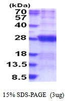 AR51652PU-N - Dynactin subunit 6