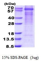 AR51658PU-N - GAD1 / GAD67
