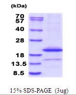 AR51683PU-N - Interleukin-1 alpha / IL-1A