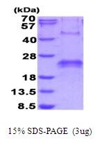 AR51693PU-N - VEGF-A