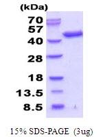 AR51739PU-N - Septin-3 (SEPT3)