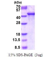 AR51753PU-N - Endophilin-A3