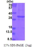 AR51769PU-N - KLK13 / Kallikrein-13