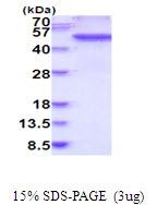 AR51773PU-N - Fibrinogen gamma chain