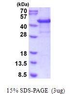 AR51787PU-N - CYTIP / PSCDBP