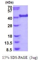 AR51791PU-N - LRP2-binding protein / LRP2BP