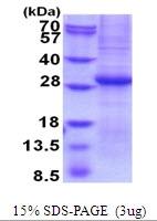 AR51798PU-N - Granzyme B (GZMB)