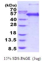 AR51800PU-N - Peptidase D / PEPD