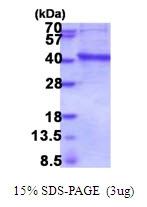 AR51806PU-N - Inositol monophosphatase 3 / IMPA3