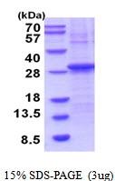 AR51860PU-N - Granzyme H (GZMH)
