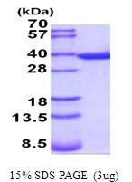 AR51880PU-N - Annexin A5 / ANXA5