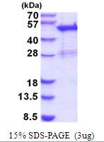 AR51885PU-N - Sorting nexin-5 (SNX5)