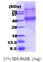 AR51889PU-N - CD132 / IL2RG