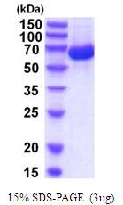 AR51901PU-N - Albumin