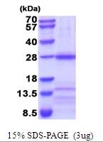 AR51926PU-N - Neuronal acetylcholine receptor subunit alpha-3