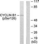 A0068-1 - Cyclin B1