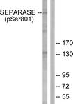 A0086-1 - Separin / ESPL1