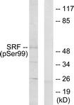 A0088-1 - Serum response factor (SRF)
