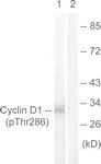 A0417-1 - Cyclin D1