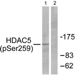 A0436-1 - HDAC5