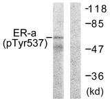 A0476-1 - Estrogen receptor alpha