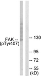 A0479-1 - FAK1 / PTK2