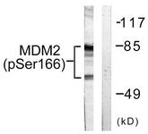 A0508-1 - MDM2