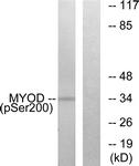 A0516-1 - MYOD1