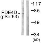 A0543-1 - PDE4D