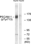 A0547-1 - CD31 / PECAM1