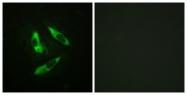 A0563-1 - Rabphilin-3A / RPH3A