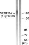 A0595-1 - CD309 / VEGFR-2 / Flk-1