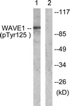 A0598-1 - WASF1 / WAVE1