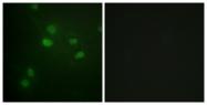 A0662-1 - Histone H3.1