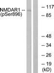 A0693-1 - NMDA Receptor 1
