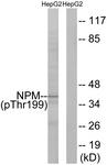 A0694-1 - Nucleophosmin