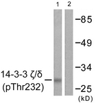 A0759-1 - 14-3-3 protein zeta/delta