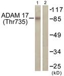 A0763-1 - CD156b / ADAM17